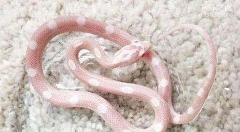 玻璃蛇竟不是蛇,长的像蛇但它却是一种蜥蜴