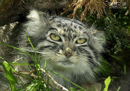 兔狲是什么动物?栖息地竟在海拔高度约4.6千米高原(堪称神兽)