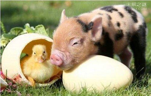 盘点那些微型小宠物,茶杯猪猪种价值高达万元