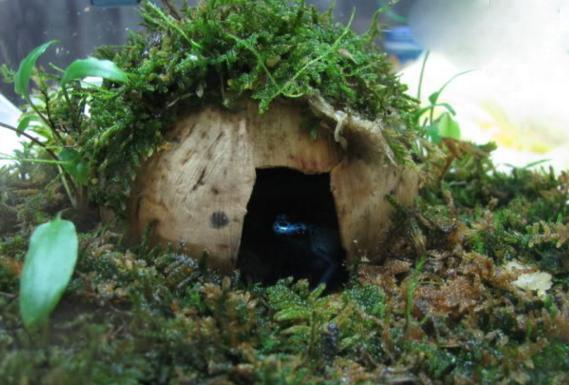 钴蓝箭毒蛙,身上的颜色也是五彩斑斓(一碰即死)