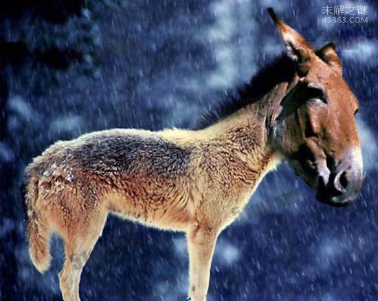 驴头狼,体长超1米 头部像驴 身子象狼